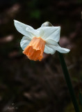 A Daff of a Different Colour