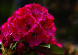 Rhododendron in the Rain