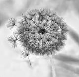 Dandelion Clock in Black and White