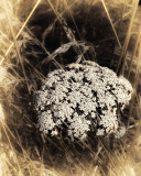 Queen Anne's Lace in Grass