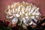 White Chrysanthemum ~~take two