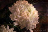 Chrysanthemum in Chantilly lace