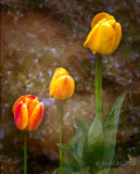 Tulips though the Looking Glass
