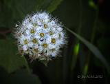 Pacific Ninebark Flower
