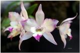 IMG_0636 Orchidée0001.jpg
