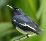 Magpie Robin, Oriental