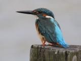 Kingfisher, Common
