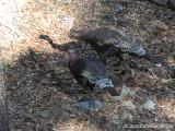 Wild Turkeys