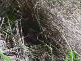 Green-tailed Towhee nest