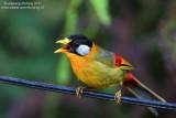 Silver-eared Mesia (Leiothrix argentauris) Birds of Fraser's Hill
