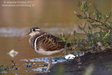 Greater Painted-snipe (Rostratula benghualensis)