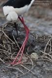 Black-winged Stilt (Himantopus himantopus)-love season