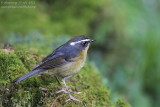 White-browed Bush Robin (Luscinia indica)