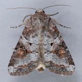 10304  Striped Garden Caterpillar  – Trichordestra legitima
