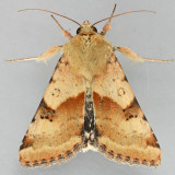 11072  Darker Spotted Straw - Heliothis phloxiphagus