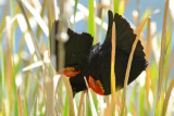 Red-winged Blackbird - Palomar Mtn. State Park