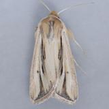 10431 Wheat Head Armyworm - Faronta diffusa