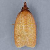 Sparganothis distincta - Two species