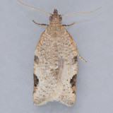 Clepsis virescana - Two species?