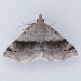 Spargaloma sexpunctata - Two Species