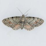 Glenoides texanaria - Local Variation
