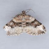 Xanthorhoe lacustrata - 2 species