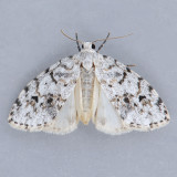 Clemensia albata - 2 species?