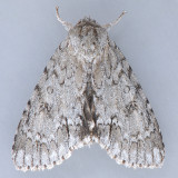 Acronicta americana - Variations