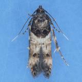 Walshia miscecolorella - Three species?