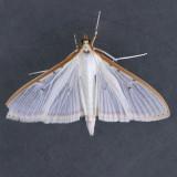 Palpita quadristigmalis - Two species