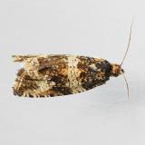 Olethreutes baccatanum - 2 species