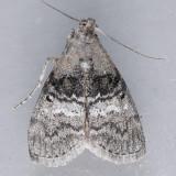 Pococera asperatella - 2 species