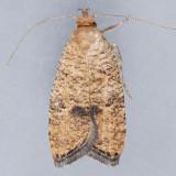 Psilocorsis quercicella - 2 species