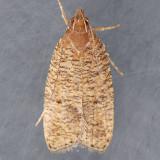 Psilocorsis reflexella - 2 species