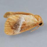 Lithacodes fasciola - 2 species?