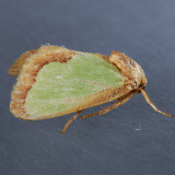 Euclea delphinii - 2 species