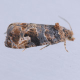 Paralobesia viteana - Local variations