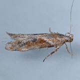 Gnorimoschema gallaeasterella - 2 species?