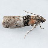5808 Tlascala Moth - Tlascala reductella