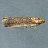 5890 Adelphia Moth – Adelphia petrella