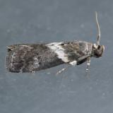 5775.1 – Salebriaria fasciata
