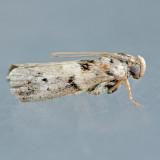 Phycitinae