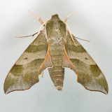 7885 Virginia Creeper Sphinx - Darapsa myron