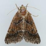 11140 Brown Flower Moth - Schinia saturata