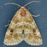 11122 - Schinia bicuspida