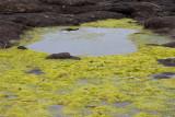 algae 1