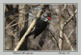 pileated_woodpeckers