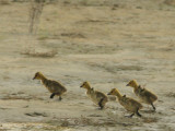 Galloping Goslings