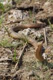 Natrix tessellata heinrothi