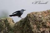 Pàssero solitàrio  (Monticola solitarius)